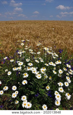 Daisies blooming field on the edge of cornfields on a background of blue sky