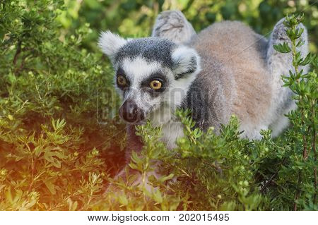 Hunting monkey in bushes. Lemur sitting in green grass. Wildlife nature of Madagascar