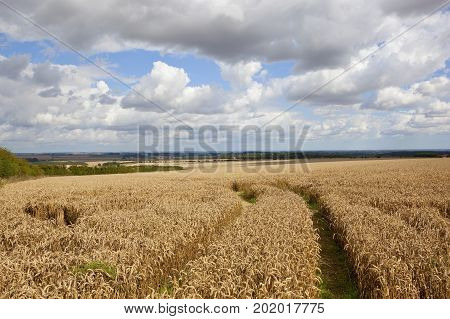 a golden wheat field with tyre tracks overlooking scenic countryside under a blue summer cloudy sky in the yorkshire wolds