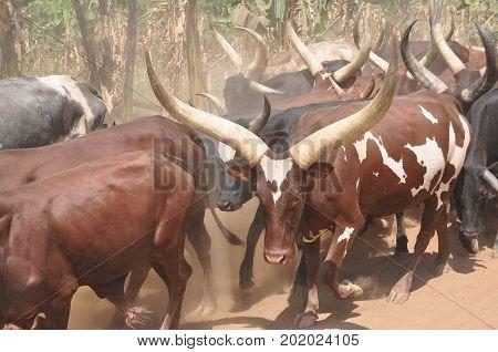 Black Ankole-Watusi longhorns, some impressive horns they have!