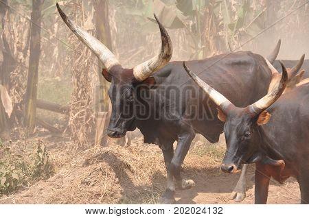 Ankole-Watusi longhorns leading the herd in Uganda