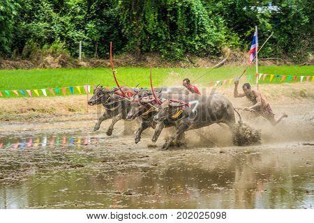 Chonburi Thailand - July 16 2017: Buffaloes racing on rice farm the annual event in Chonburi Thailand