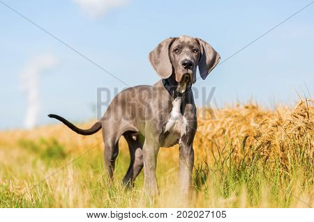 Portrait Of A Great Dane Puppy On A Country Path