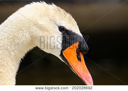 A beautiful adult Mute Swan with bright orange beak