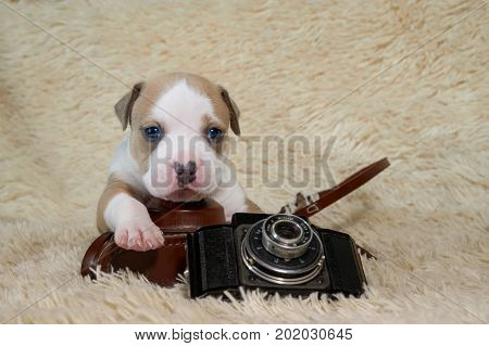 Funny american staffordshire terrier dog playing with a retro camera