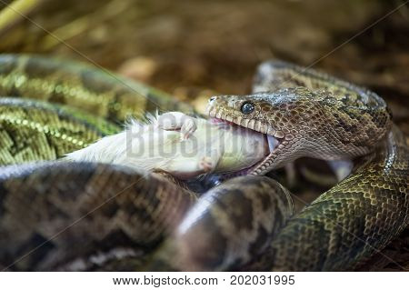 Snake slowly eating a white dead mouse
