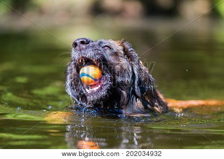 Leonberger Dog Swims With A Ball In The Snout