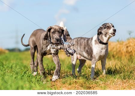 Great Dane Puppy And An Australian Shepherd Running On A Country Path