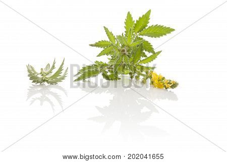 Agrimonia eupatoria common agrimony church steeples or sticklewort isolated on white background. Natural remedy medicinal plant.