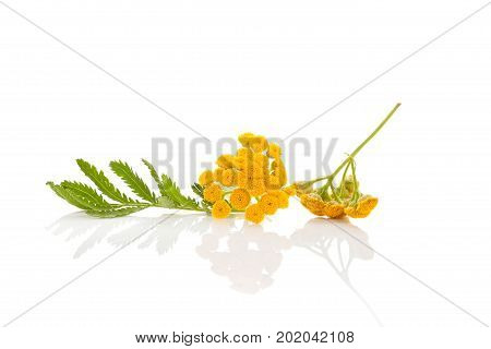 Tansy flower and leaves isolated on white background. Natural remedy alternative medicine.