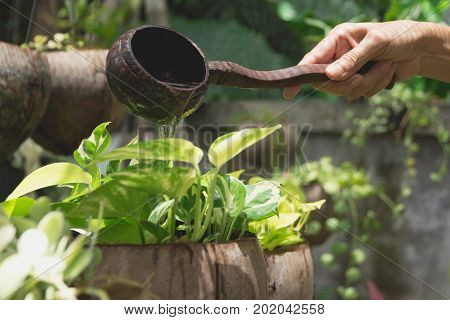 Pouring a young plant from watering can. Gardening and watering plants.
