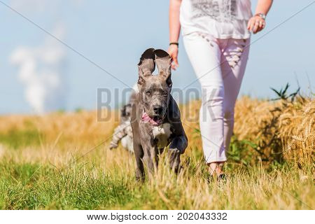 Walking Woman And Running Great Dane Puppy