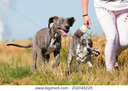 Woman Walks With Great Dane Puppy And An Australian Shepherd On A Country Path