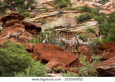 Desert bighorn in the mountain of Zion National Park in Utah, United States