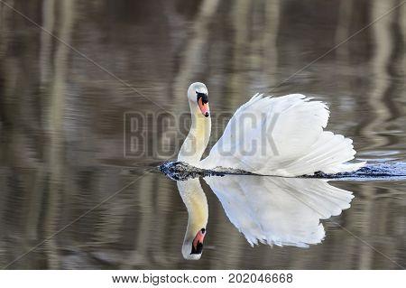 Mute swan with wings half raised in threat display