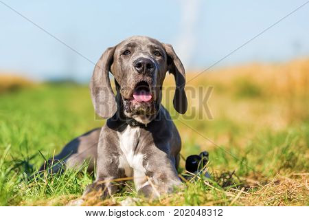 Great Dane Puppy Lying On A Country Path