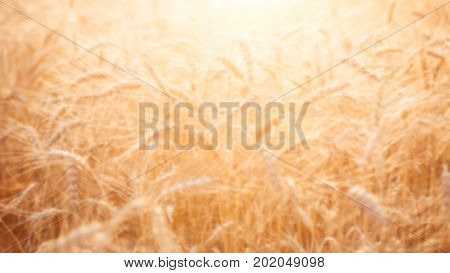 Blurred image of ripe wheat spikelets in field at summer