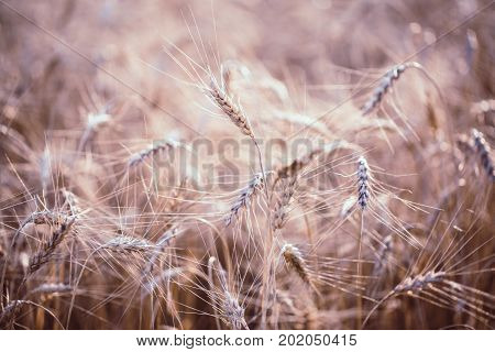 Toned photo of wheat spikelets in field on blurred background