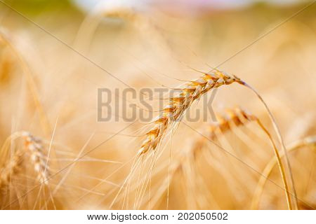 Picture of spikelets, wheat field on blurred background
