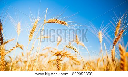 Photo of rye spikelets and clean sky on blurred background