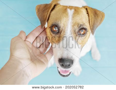 Loving owner's hand touching a dog's head. A portrait of adorable puppy Jack Russell Terrier sitting on wooden flour indoor and looking up to camera. Blue background