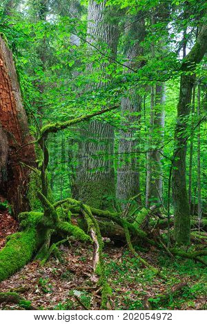 Old monumental oaks in summertime forest and dead wood moss wrapped in foreground, Bialowieza Forest, Poland, Europe