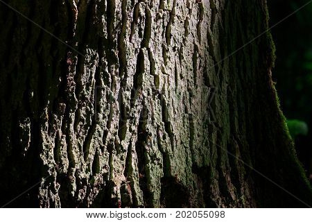 Old Pedunculate Oak bark texture closeup with some lichenes and insect damages, Bialowieza Forest, Poland, Europe