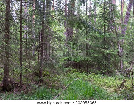 Mixed stand of alder og forest in summer, Bialowieza Forest, Poland, Europe