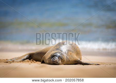 A sleeping Hawaiian Monk Seal on the Poipu Beach, Kauai, Hawaii.