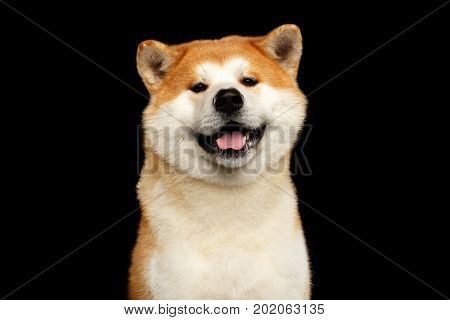 Funny Portrait of Akita inu Japanese breed of Dog, Looks Smiling on isolated black background, front view