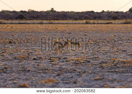 Group Of Black Backed Jackals On The Desert Pan At Sunset. Etosha National Park, The Main Travel Des