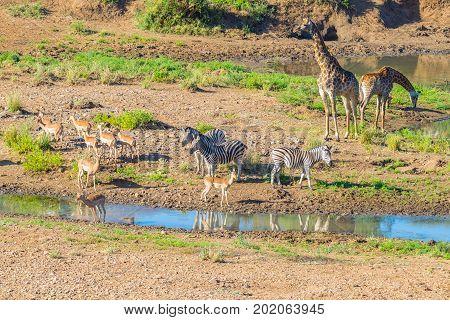 Herd Of Zebras, Giraffes And Antelopes Grazing On Shingwedzi Riverbank In The Kruger National Park,