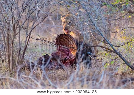 Young Lion Eating Prey In The Bush. Kruger National Park, Famous Travel Destination In South Africa.