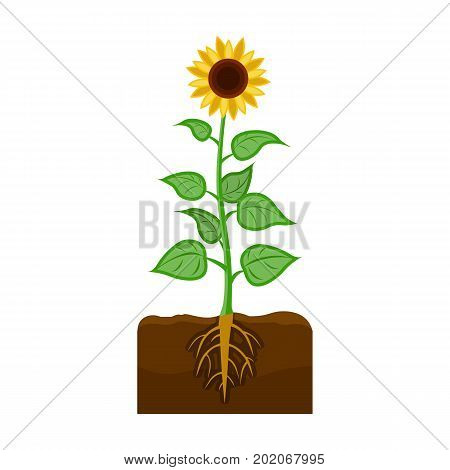 Sunflower, single icon in cartoon style.Sunflower vector symbol stock illustration .