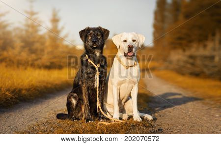 Two cute dogs with dog leash and collar on a sunny street during autumn - labrador portrait