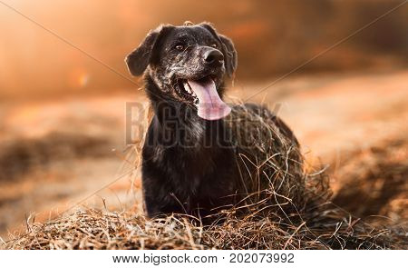 very cute brown dog stands in a sunny field with tongue hanging out - autumn mood