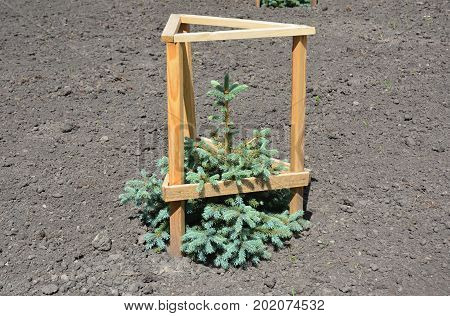 Planting Blue spruce Sapling. The blue spruce Colorado spruce or Colorado blue spruce with the scientific name Picea pungens is a species of spruce tree.