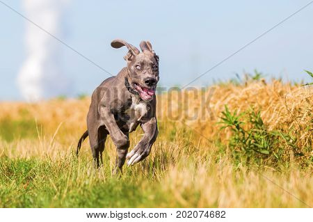Great Dane Puppy Running On A Country Path