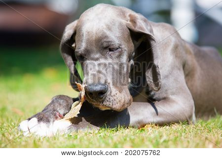 Great Dane Puppy Lies On The Lawn And Chews At A Pig's Ear