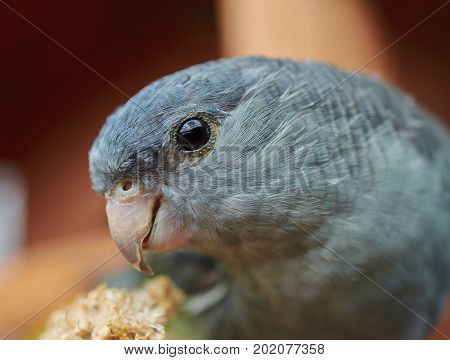 Portrait of a gray Barred parakeet (Bolborhynchus lineola). Close up.