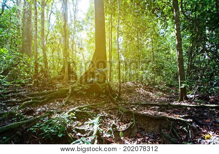 Roots And Tall Trees In Tabin Jungle, Sabah Borneo, Malaysia. Tabin Wildlife Reserve Is A Nature Pre