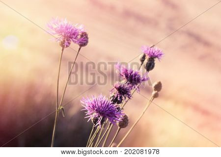 Flowering thistle (burdock) - beautiful flowering, blooming wild flower in meadow lit by sunlight
