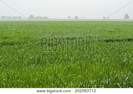 Green sprouts of wheat on the field