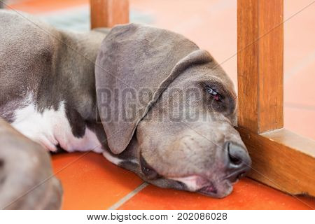 Great Dane Puppy Lies Tired On The Floor