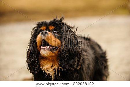 Cavalier King Charles Spaniel dog close up