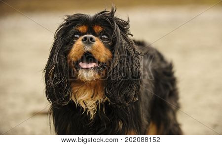 Cavalier King Charles Spaniel dog close up against natural background