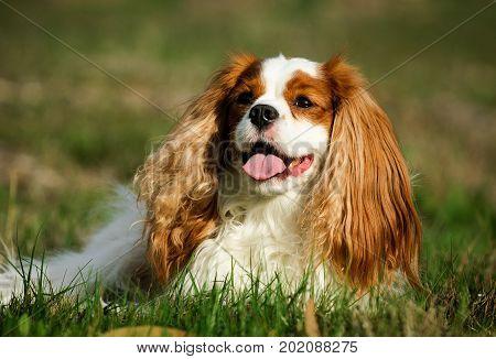 Cavalier King Charles Spaniel dog lying in field