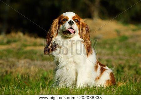 Cavalier King Charles Spaniel dog sitting in field