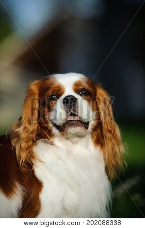 Cavalier King Charles Spaniel dog portrait in natural colors