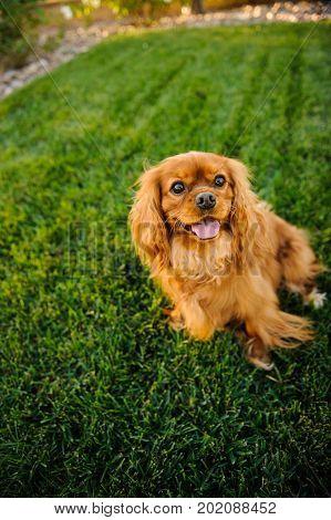 Cavalier King Charles Spaniel dog sitting in green grass lawn